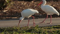 White Ibis walking by sidewalk