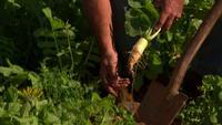 Agricultor, cosechar, rábano