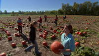 Harvesting-pumpkins