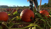 Gardening-pumpkin-patch
