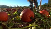 Gardening pumpkin patch