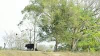 Zwarte koe.