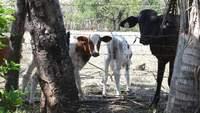 Vaca e calfs.
