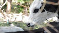 Cow's head.