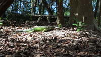 Green-iguana-eating-leaves
