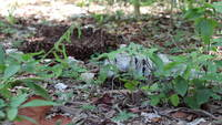 Iguana-eating-leaves-in-the-forest