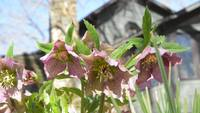 Bee on a hellebores flower