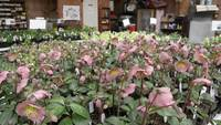 Mesa de embalagem em uma fazenda de flores hellebores