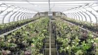 Hellebores växthus