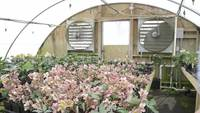 Hellebores green house and giant fans