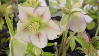 Close up shot of hellebores flowers