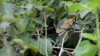 orange grasshopper