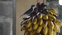 birds eating banana