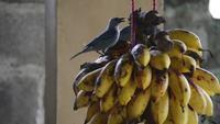 Pájaros comiendo plátano