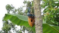 Vogels die Papaya eten