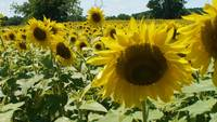 Close up to wide shot of glorious sunflowers