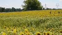 People-walking-in-a-sunflower-field
