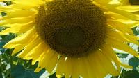 Close-up-view-of-a-sunflower
