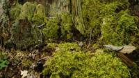 Forest floor, with moss and tree stump