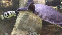 Turtle Swimming 4k