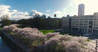 Aerial Drone Shot of Oregon Downtown Cherry Blossoms in 4K