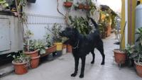Black dog playing