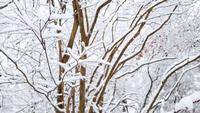 Gros plan, de, neige-couvert, arbre, dans, a, forêt neigeuse