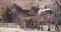Traveling shot of a couple of zebras on the savanna in 4K