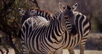 Close up of a couple of zebras on the savanna in 4K
