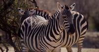 Närbild på ett par zebror på savannen i 4K