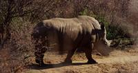 Plano de un rinoceronte caminando entre arbustos en 4K