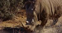 Traveling shot of a close up to a rhino walking through bushes in 4K