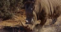 Resande skott av en närbild till en noshörning som går genom buskar i 4K