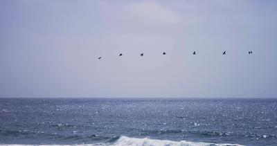 Traveling shot of a formation of seven pelican flying on over the sea in 4K