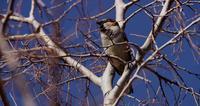 Närbild på en brun liten fågel sång på trädgrenar i 4K