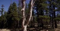 Vertikal panorering av vitt torrt träd med korta grenar i 4K