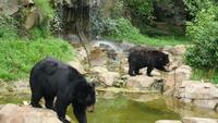 Multiple-black-bears-roaming-around-habitat-free-stock-footage