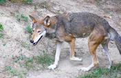 Rare-endangered-red-wolf-exploring-habitat-free-stock-footage