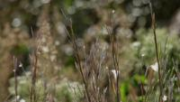 Close up of brown spikes and green grass moved by the wind in 4K