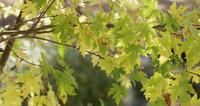 Nature texture of green and yellow leaves in brown branches moving slowly in 4K