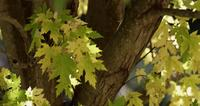 Focusing nature scene with green and yellow leaves in tree branches in 4K
