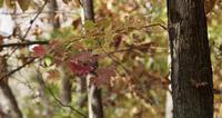 Red and yellow leaves in tree branches moved by the wind in forest scene in 4K
