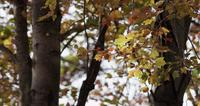 Mottled yellow and red leaves in tree branches with relaxing movements in 4K