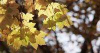 Detail of bright yellow leaves with defocused dark trees background in 4K