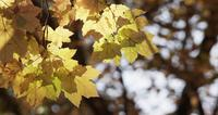 Beautiful template of yellow leaves with blurried dark trees in background in 4K