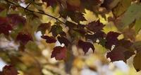 Nature dynamic scene with red leaves moving slowly on defocused trees background in 4K