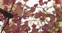 Close up of pink and red leaves in tree branches with blurred sky background in 4K