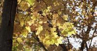 Nature frame of forest tree with yellow leaves and blurred trees in background in 4K