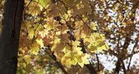 Ljusa gyllene löv rör sig långsamt på skogsbakgrund i 4K