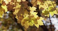 Yellow arrangement of mottled leaves on defocused forest background in 4K